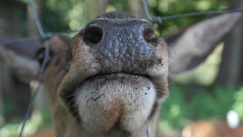 snout red deer nostrils