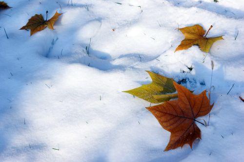 snow defoliation winter