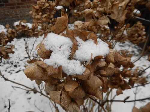 snow hydrangea winter