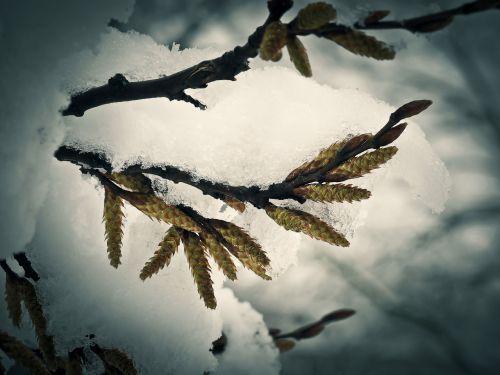 sniegas,gėlė,žiema,žiedas,žydėti,gamta,šaltis,pirmas sniegas,sniegas,Naujoji Zelandija,coldsnap,augalas,snieguotas,Uždaryti