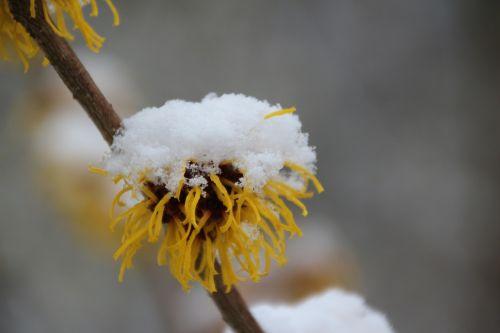snow plant nature