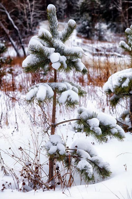 sniegas,pušis,vienišas,žiema,miškas,gamta,medis,žiemos miškas,medžiai,kraštovaizdis,šaltas,sniego žiemos gamta,žiemos peizažas,dangus,balta,gražus,gyvoji gamta,debesys,šaltis,Siberija,žiemos svajonė,snaigės,šaltai