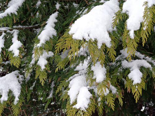 snow christmas tree winter