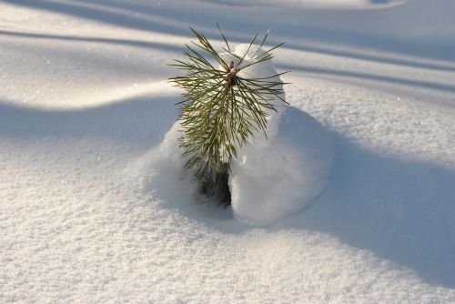 snow sun young spruce