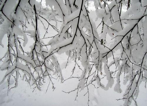 sniegas,žiema,balta,medžiai,filialas,krūmas,krūmai,diena,grožis,gražus