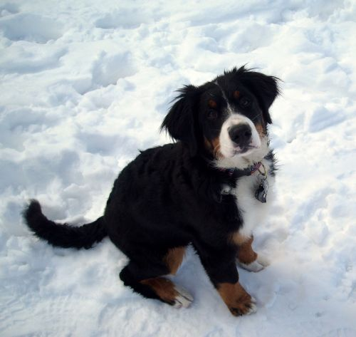 snow dog berner sennen dog