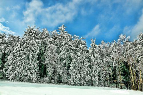snow winter conifer