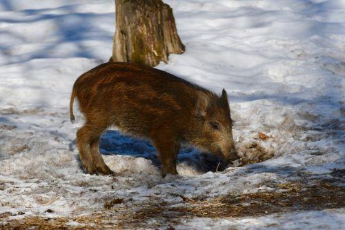 snow nature mammal