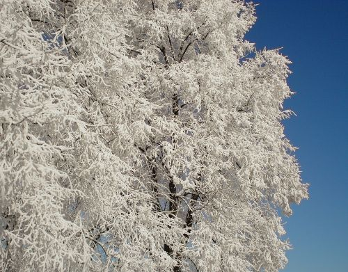 sniegas,medis,balta,žiema,kartono sniega,estetinis,filialai,Naujoji Zelandija,auskaras
