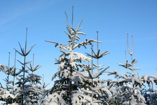 snow winter fir tips