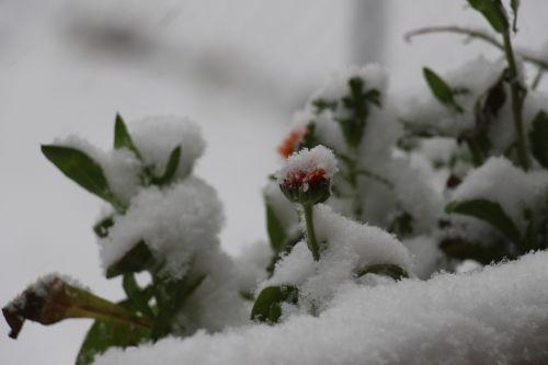 snow flower snowed in