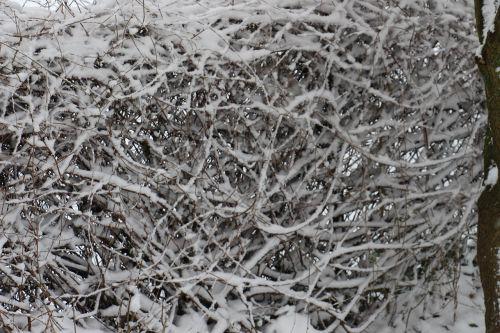 snow hedge snowed in