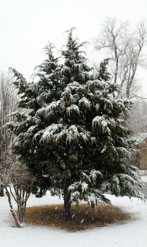 snow cedar tree