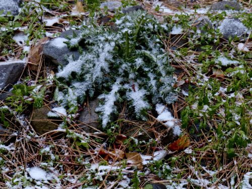 Snow And Leaves