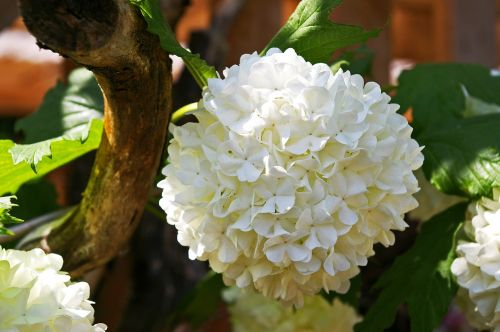 snow ball bush white