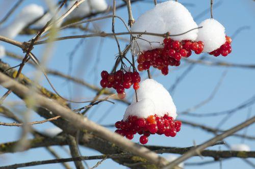 sniego rutulys,sniegas,raudonos uogos,žiema,nuotaika,žiemos nuotaika