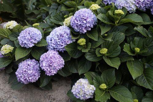 snow ball plant purple