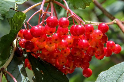 snow ball berries red