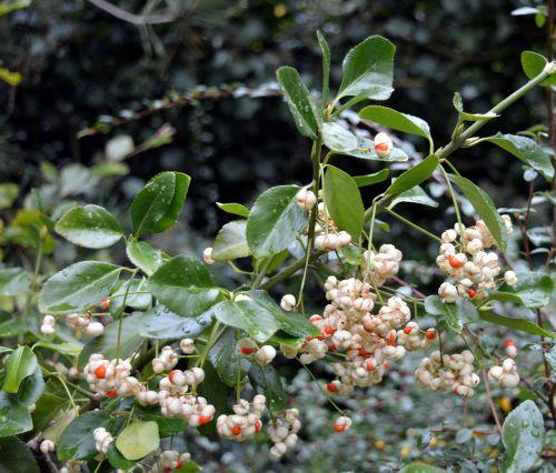 snow berry knallerbse bush