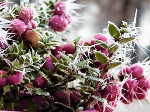 snow berry coral berry pink