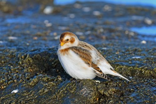 snow bunting migratory bird north sea