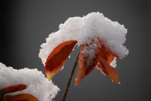 snow cover leaf snow