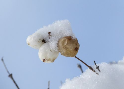 snow covered withered winter