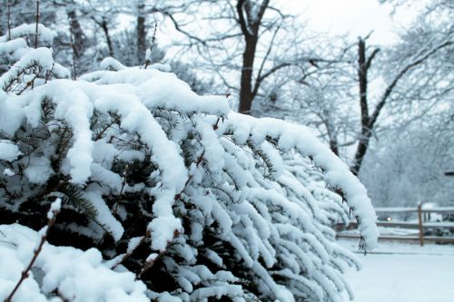 Snow Covered Branches - 02