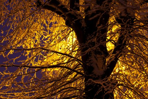 Snow Covered Branches At Night
