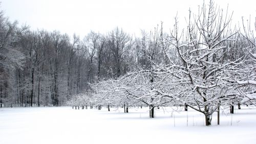 Snow-covered Winter Orchard