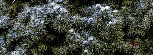 Snow Drifts On Pine
