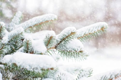 snow in pine tree pine branch winter