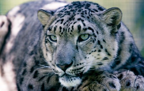 snow leopard big cat animal