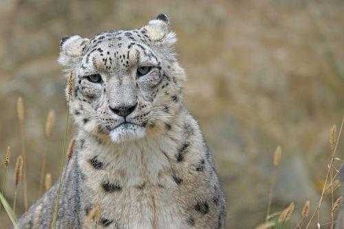 snow leopard irbis big cat