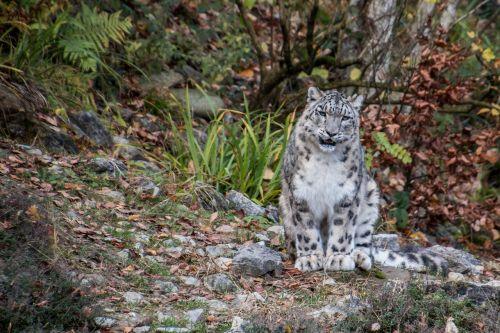 snow leopard leopard irbis