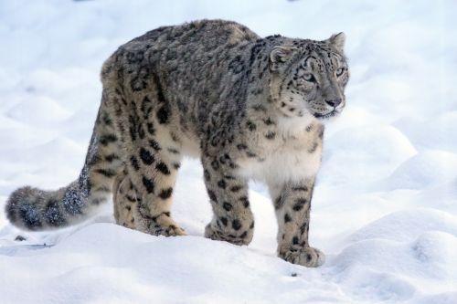 snow leopard predator cat