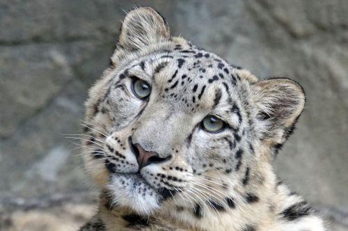 snow leopard irbis female