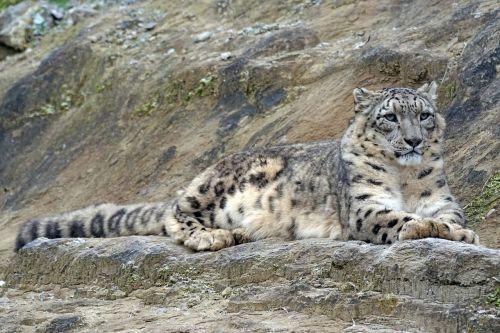 snow leopard irbis männllch