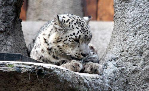 snow leopard irbus panthera uncia