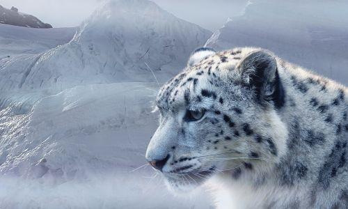 snow leopard leopard snow