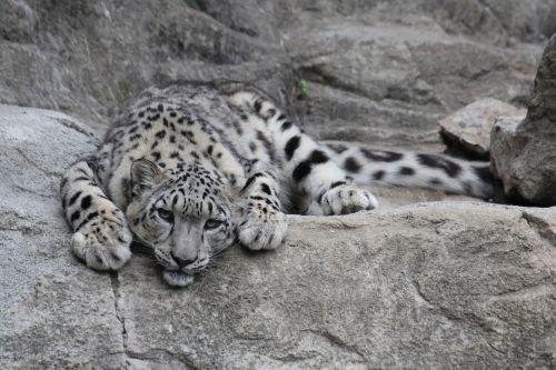 snow leopard leopard predator