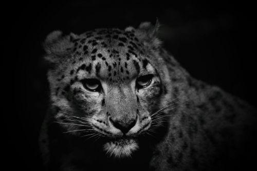 snow leopard cat leopard