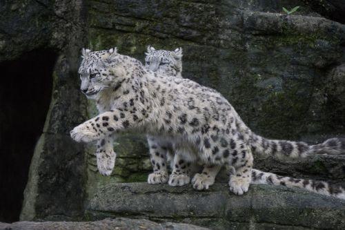 snow leopard wild predator