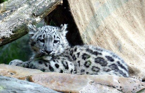 snow leopard  irbis  child