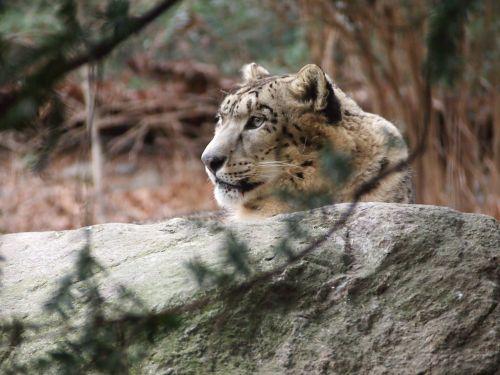 snow leopard leopard animal
