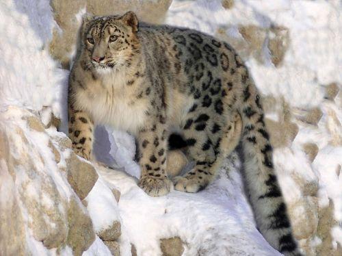 snow leopard crouched ledge