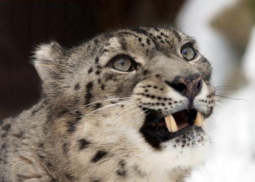 snow leopard portrait face