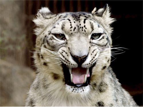 snow leopard portrait looking