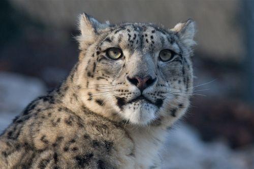 snow leopard leopard panthera uncia