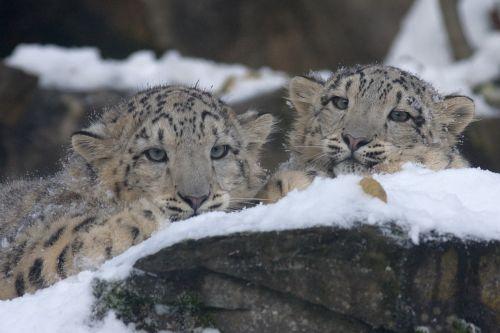 snow leopard panthera uncia zoo